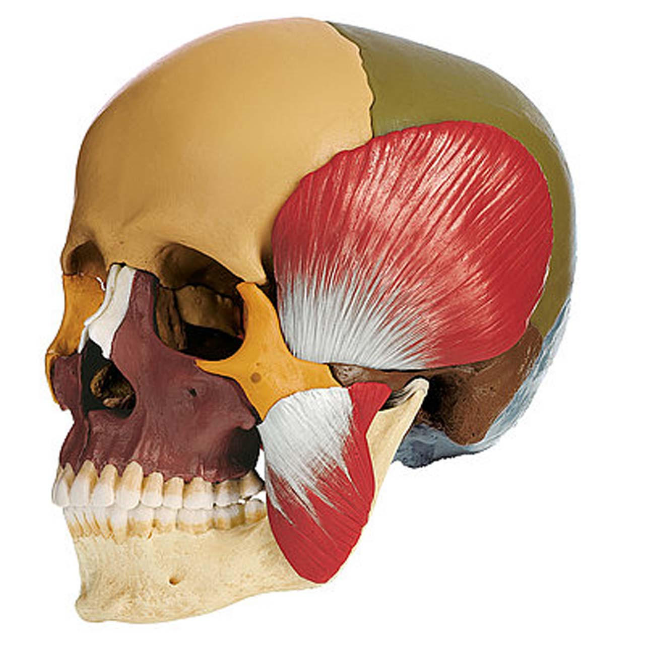 18-Part Coloured Model of the Skull with Muscles of Mastication
