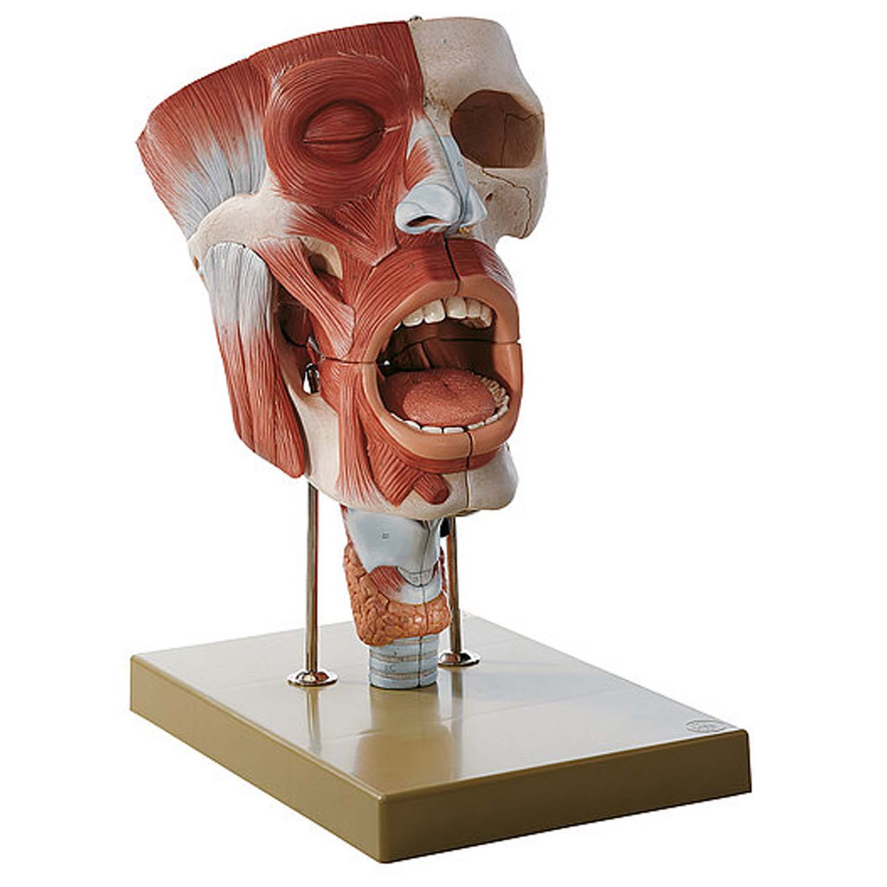 FS5 - Cavities of Nose, Mouth and Throat with Larynx