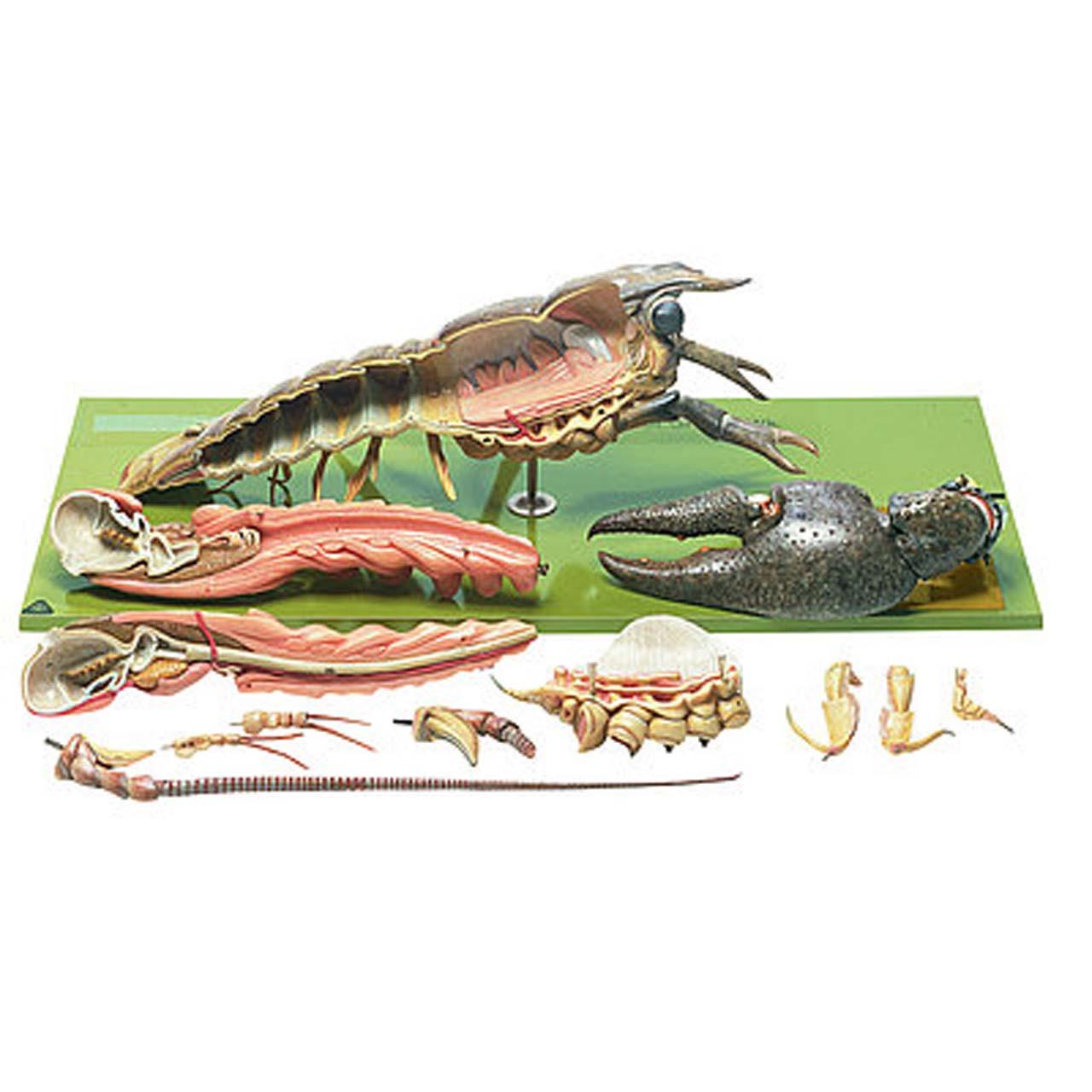 Crayfish or Precious Crayfish