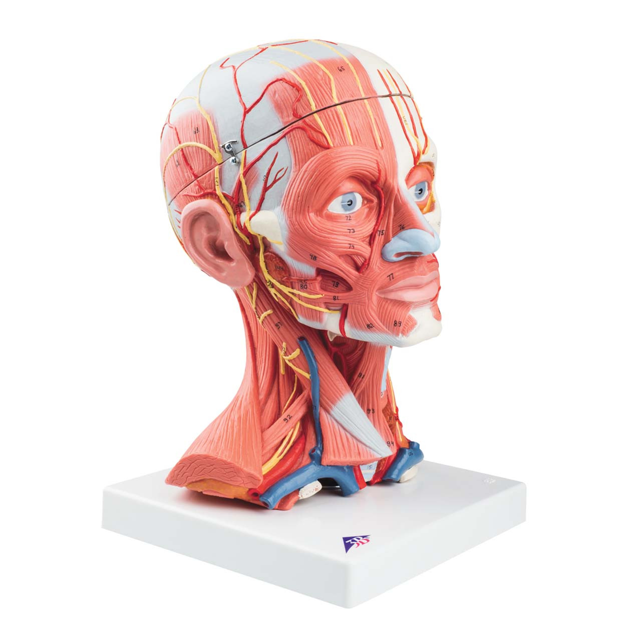 1000214 - Head and Neck Musculature, 5 part
