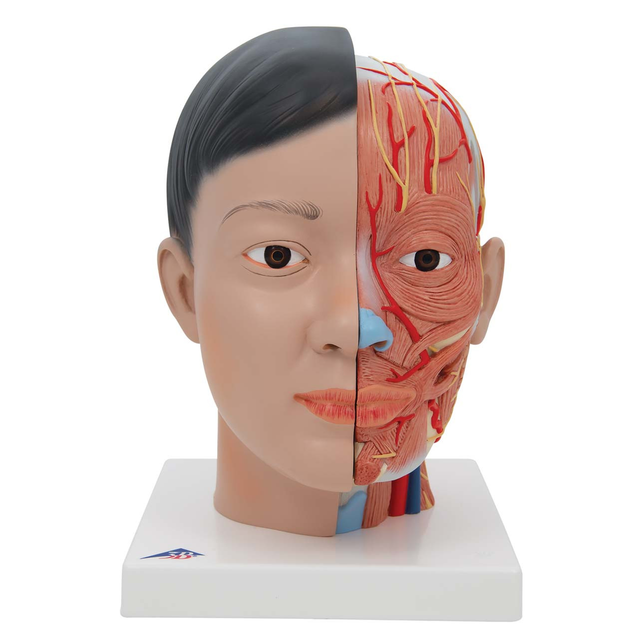 1000215 - Asian Deluxe Head with Neck, 4 part