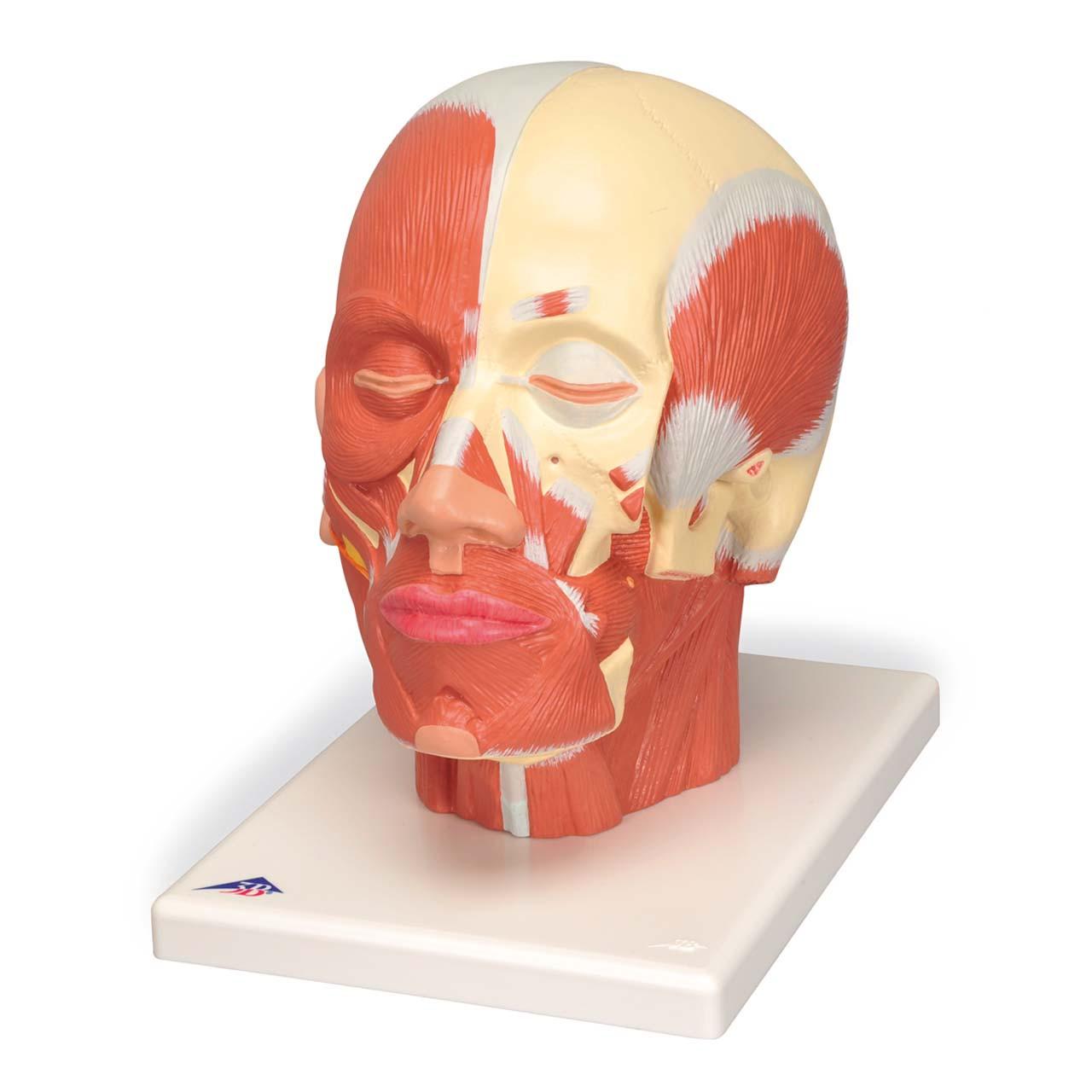 1001239 - Head Musculature