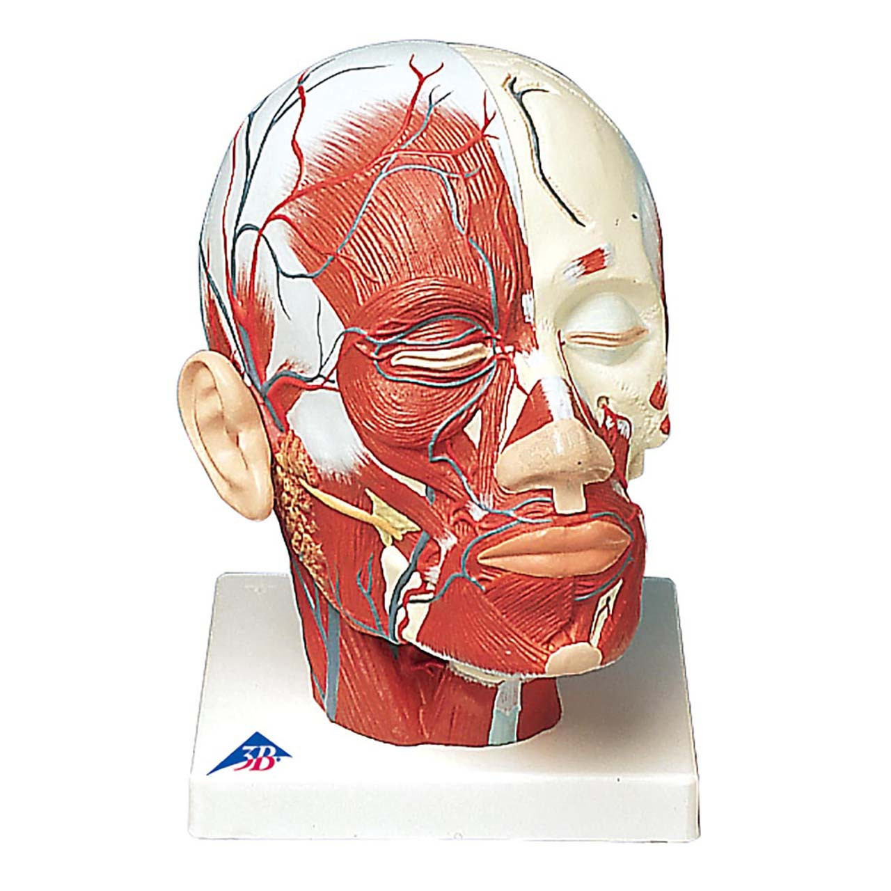 1001240 - Head Musculature additionally with Blood Vessels