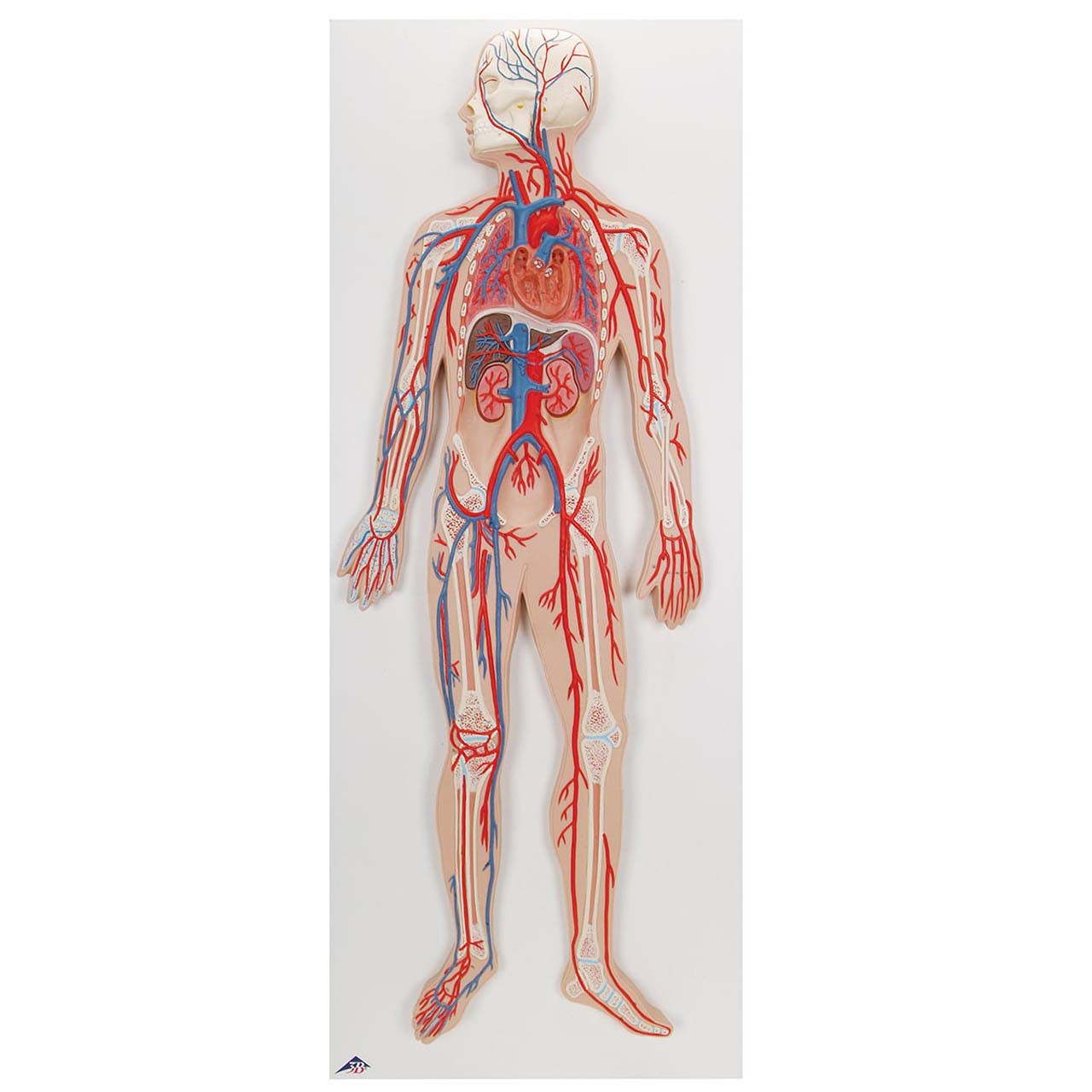 1000276 - Circulatory System