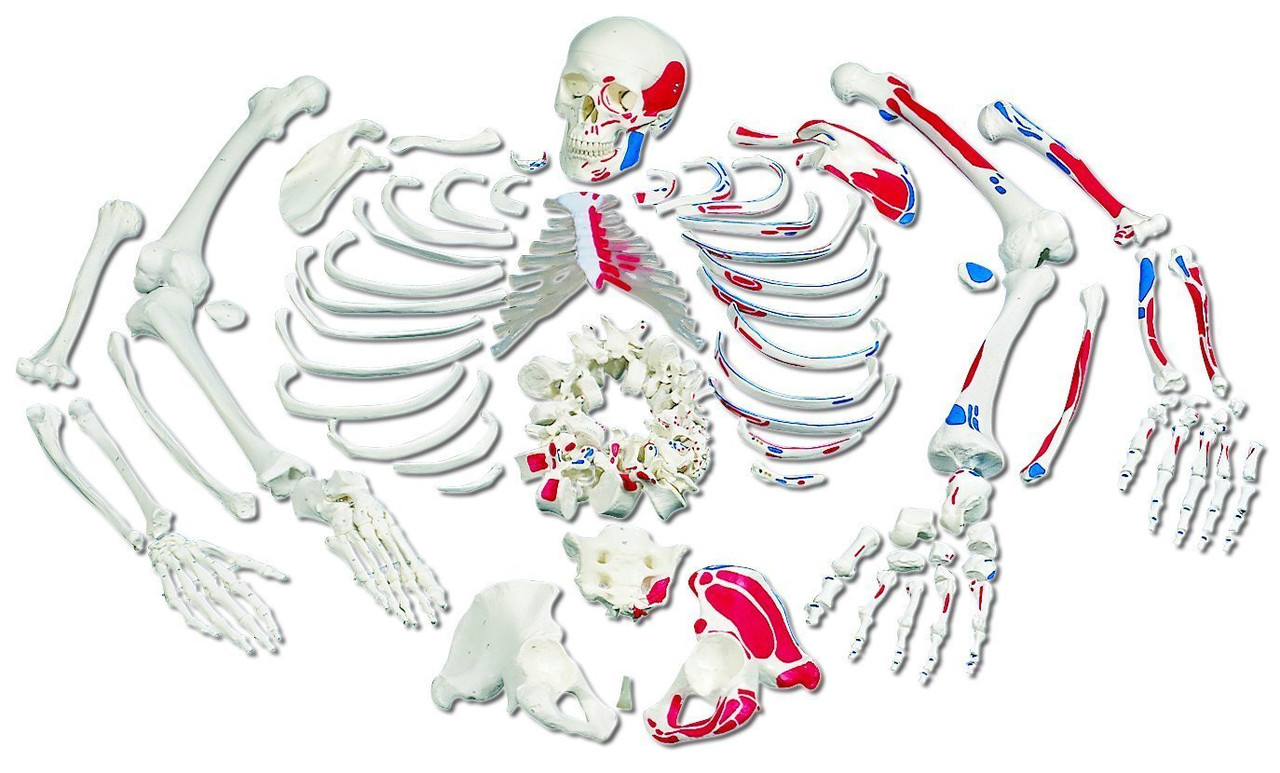 Disarticulated Full Human Skeleton, painted muscles, with 3 part skull