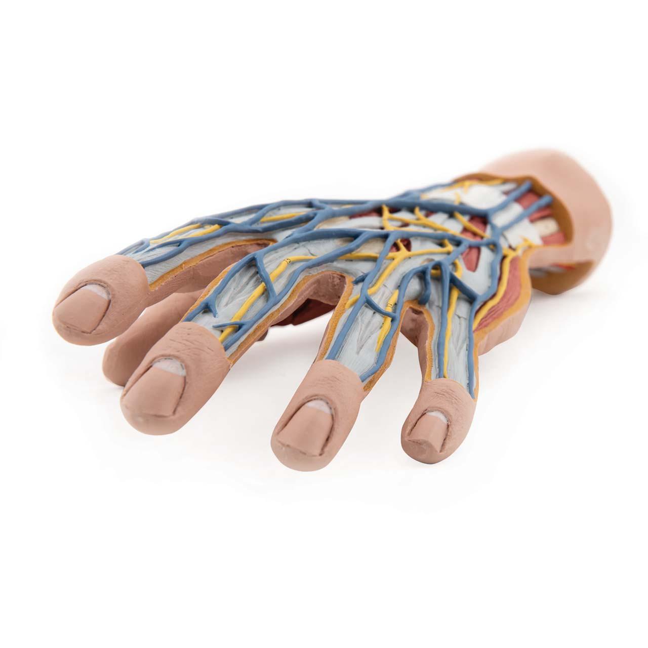 Internal Hand Structure Model, 3 part