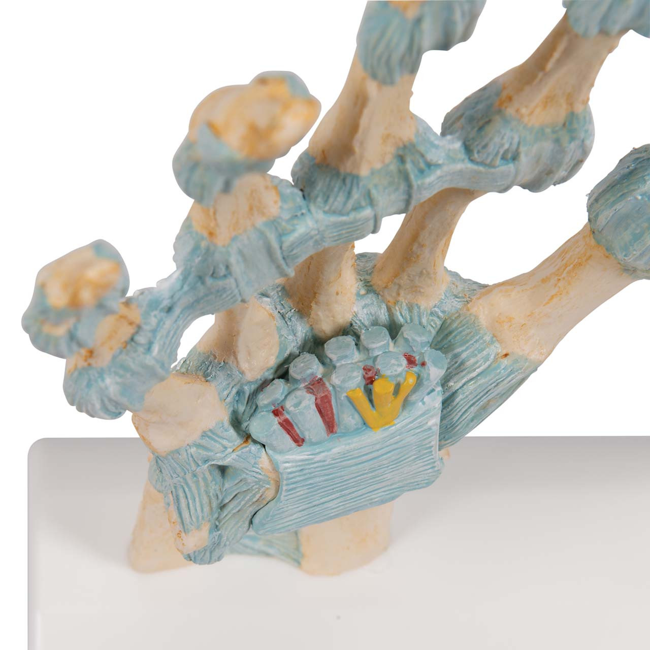 Hand Skeleton Model with Ligaments and Carpal Tunnel