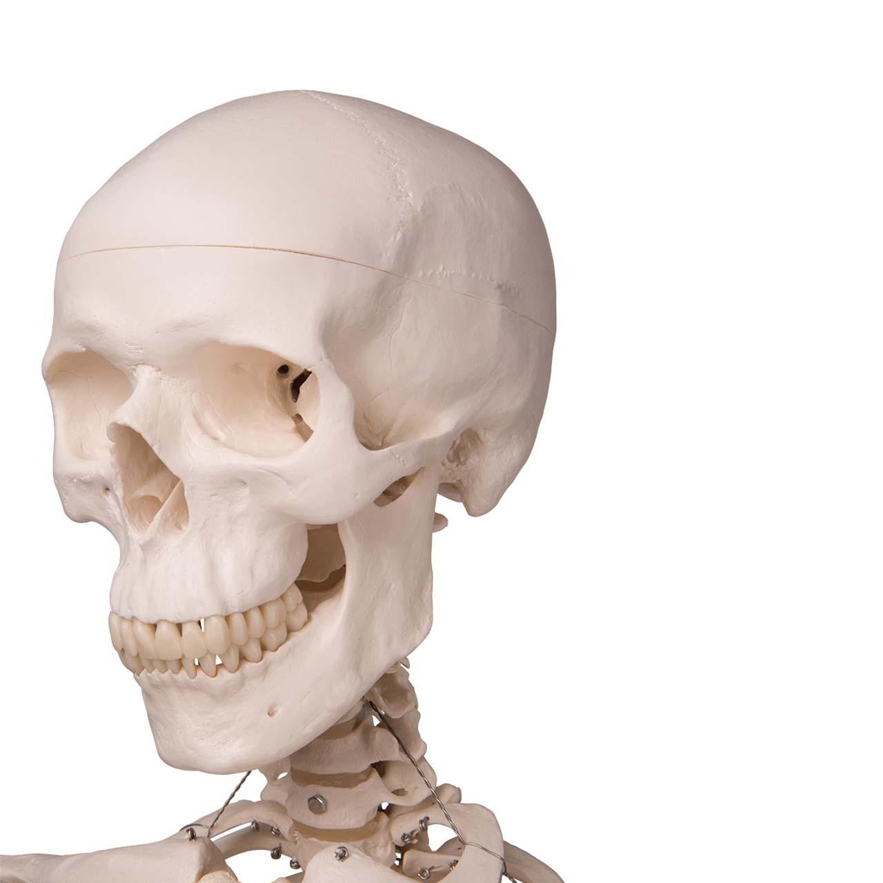 1020171 - Skeleton Model - Stan
