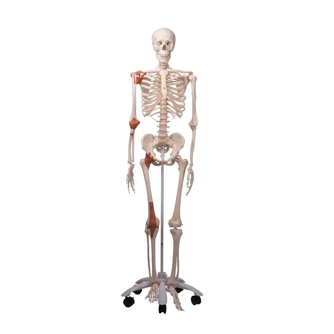 1020175 - Skeleton Model with Ligaments - Leo