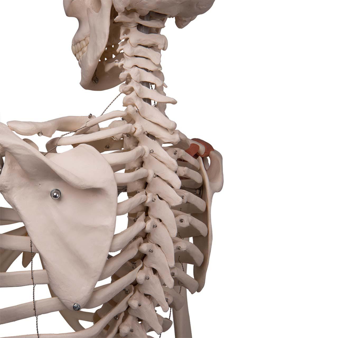 Skeleton Model with Ligaments - Leo