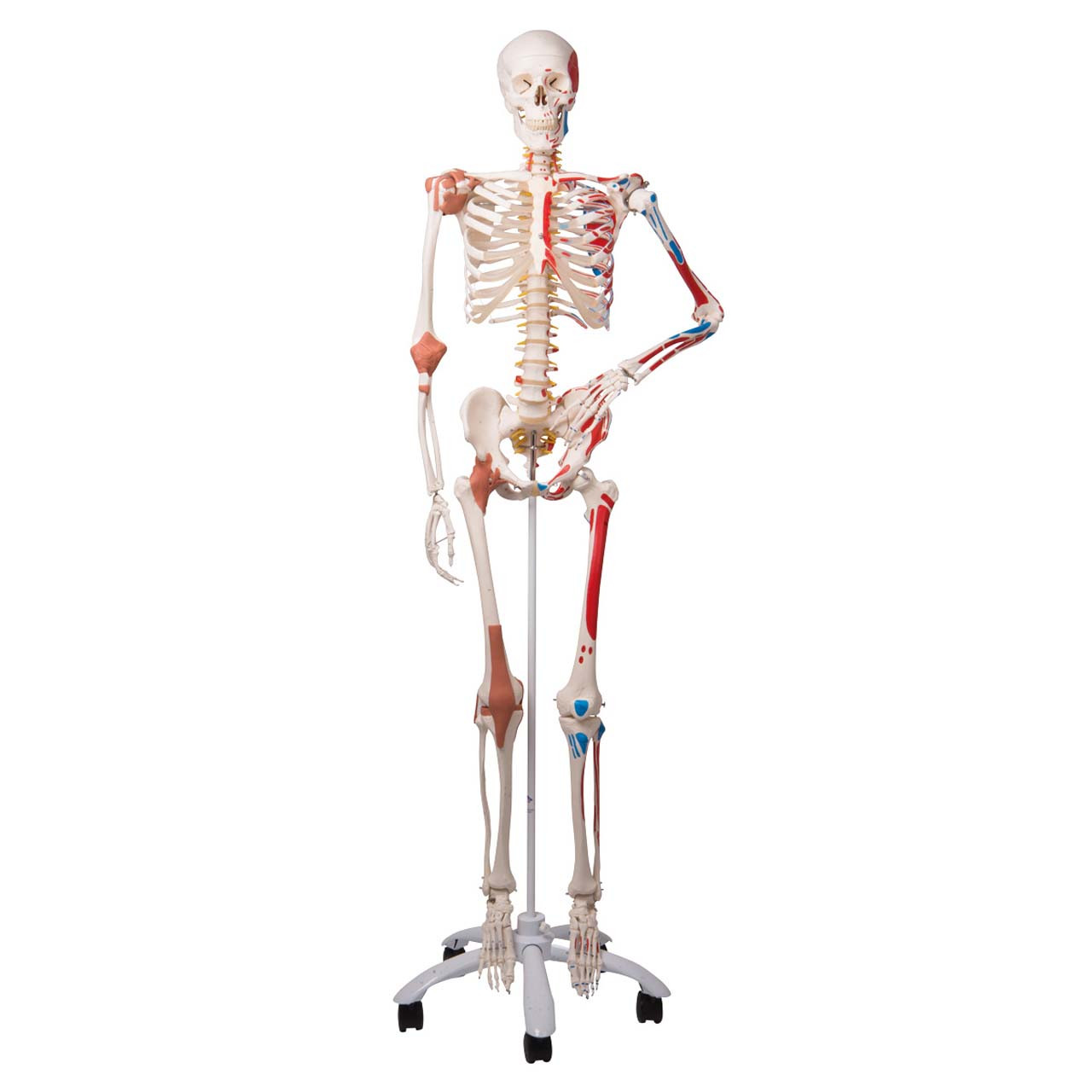 1020176 - Skeleton Model with Muscles and Ligaments - Sam