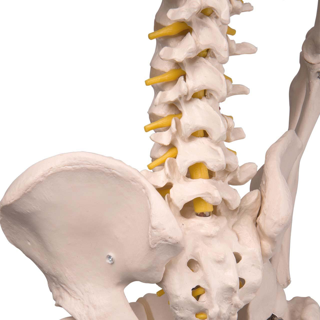 Flexible Skeleton Model - Fred