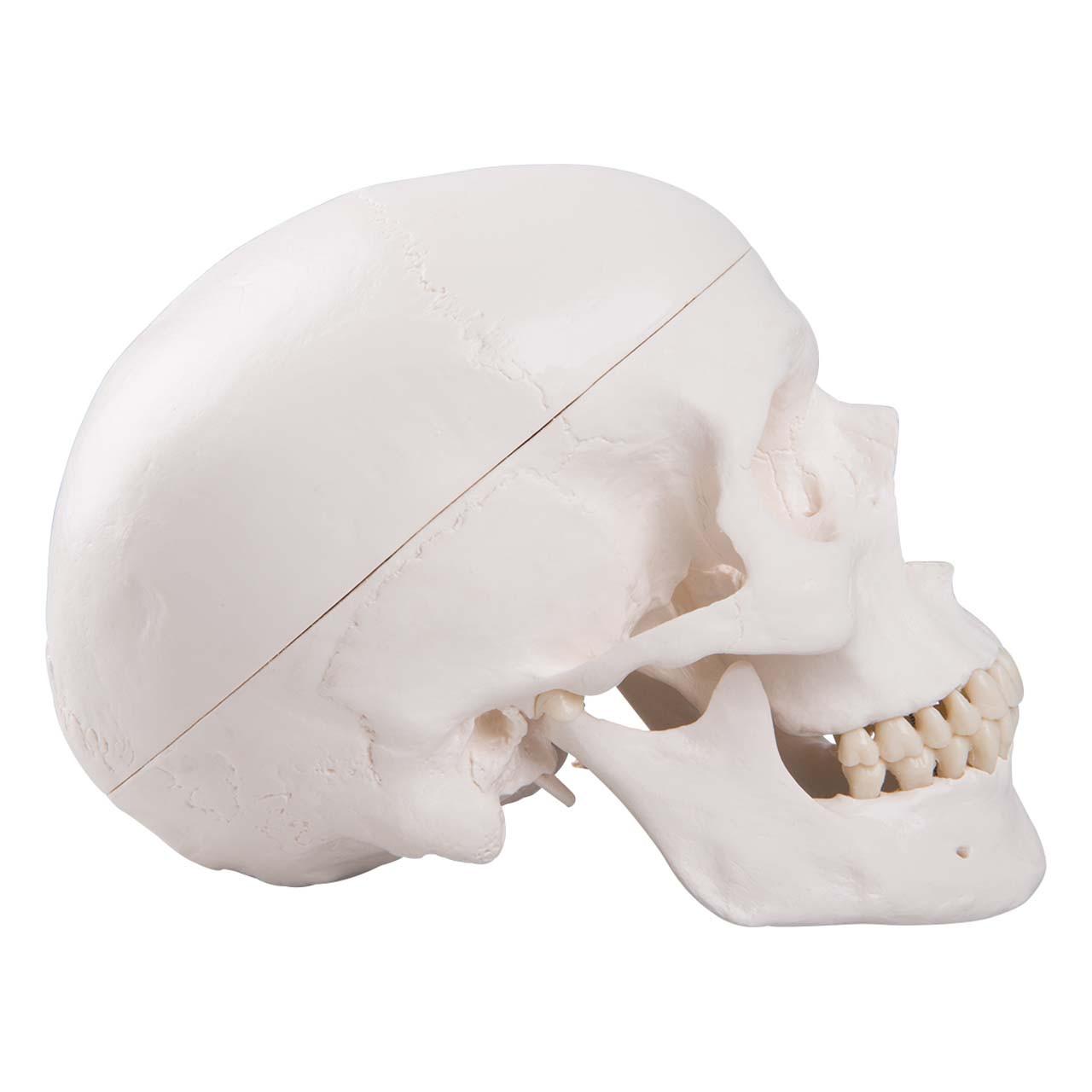 Classic Human Skull Model, 3 part