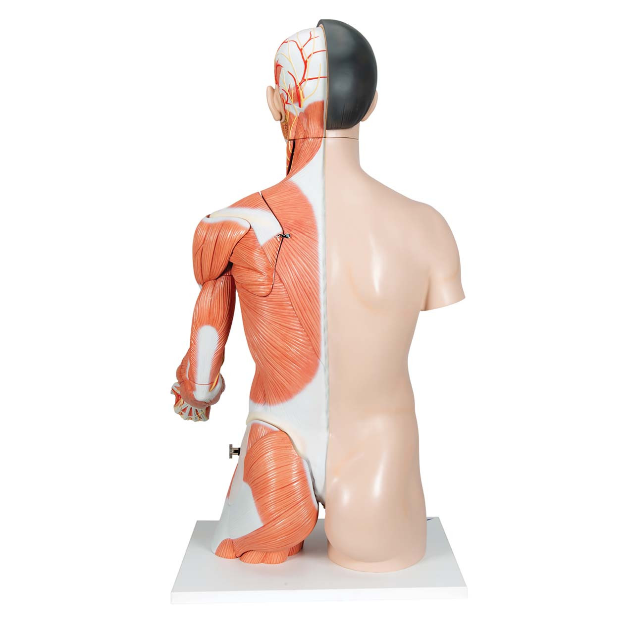 Life-Size Asian Dual Sex Torso with muscular arm, 33-part