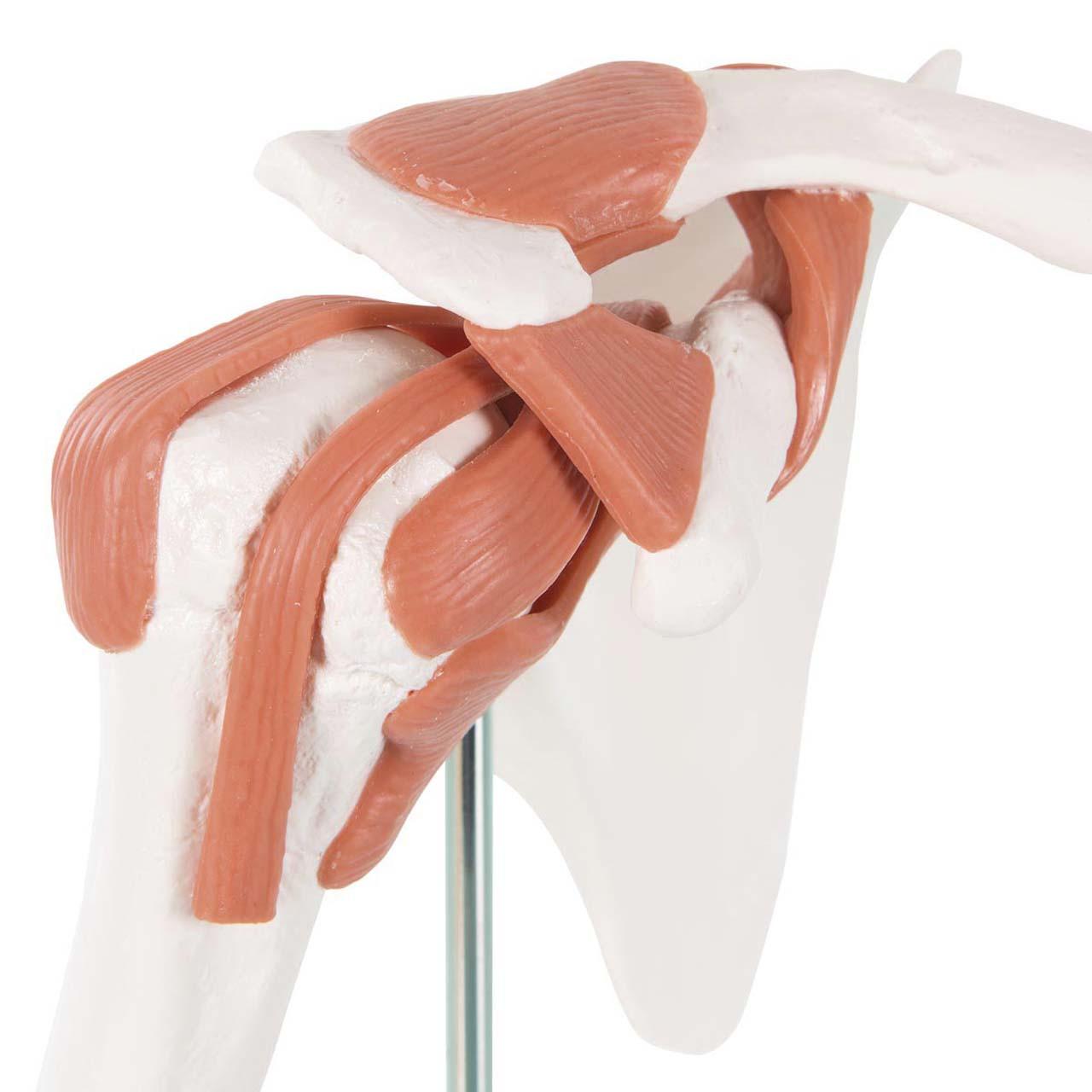 Functional Shoulder Joint