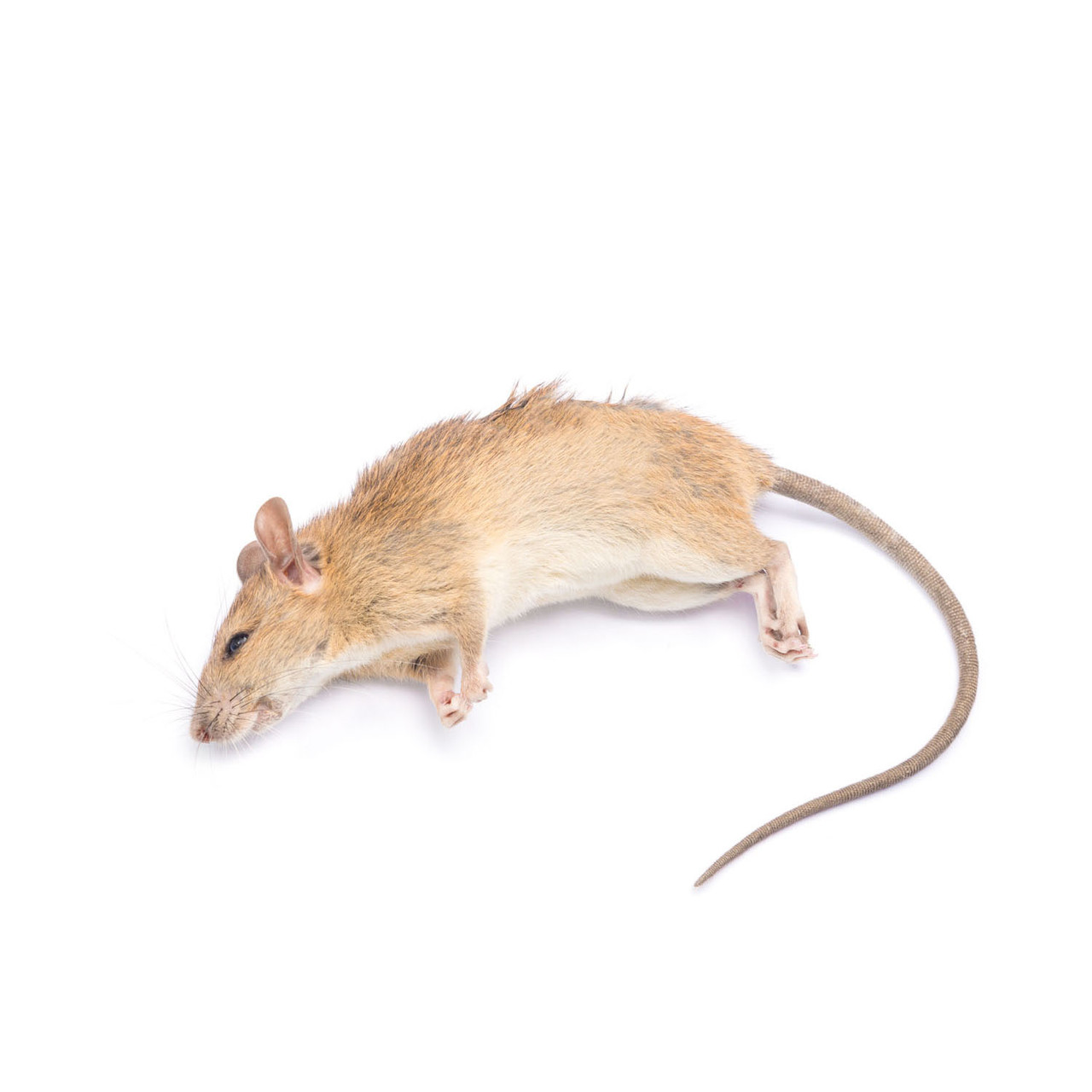 PM1.032 - Rat, female, preserved, Perfect Solution