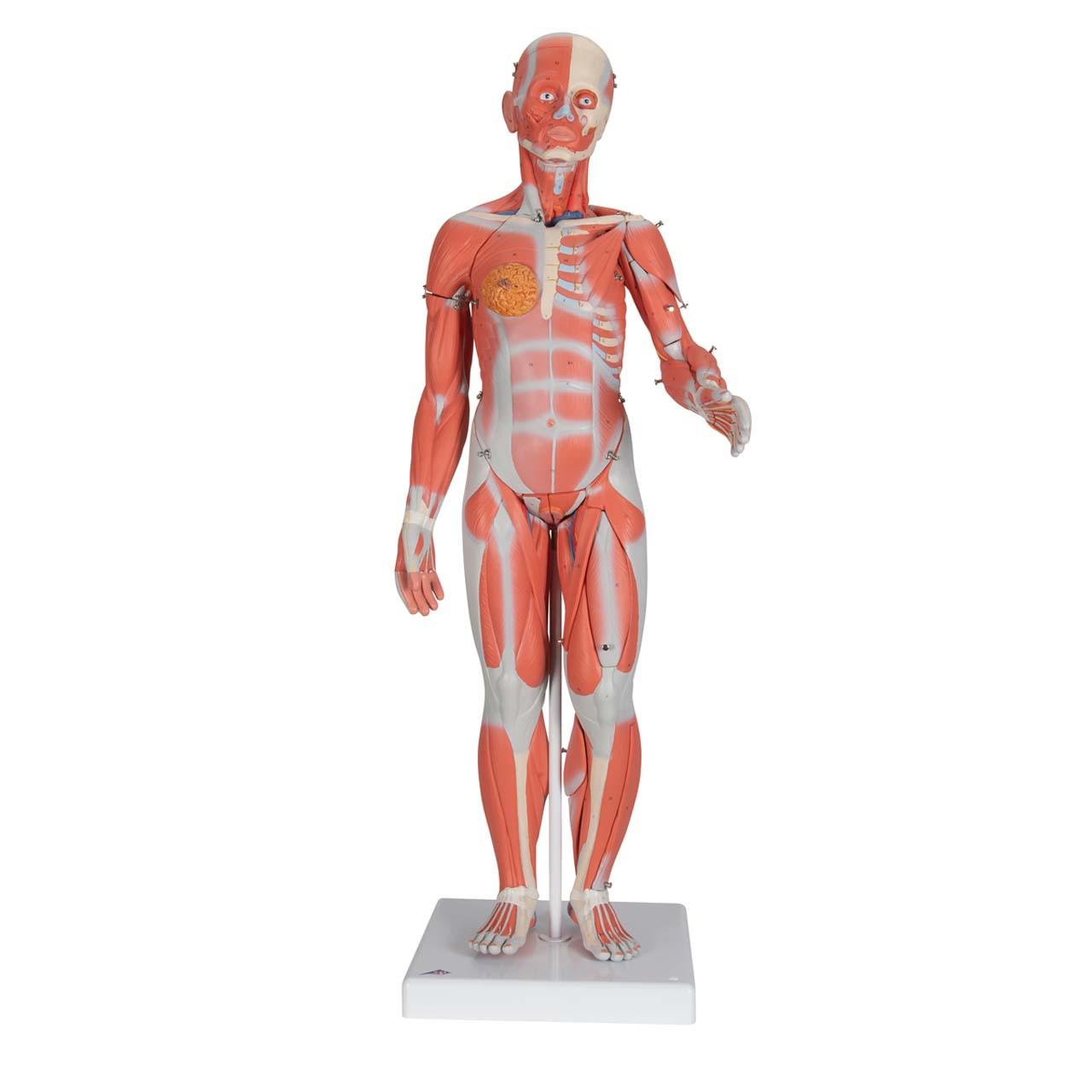 1000210 - 1/2 Life-Size Complete Dual Sex Muscle Model, 33-part