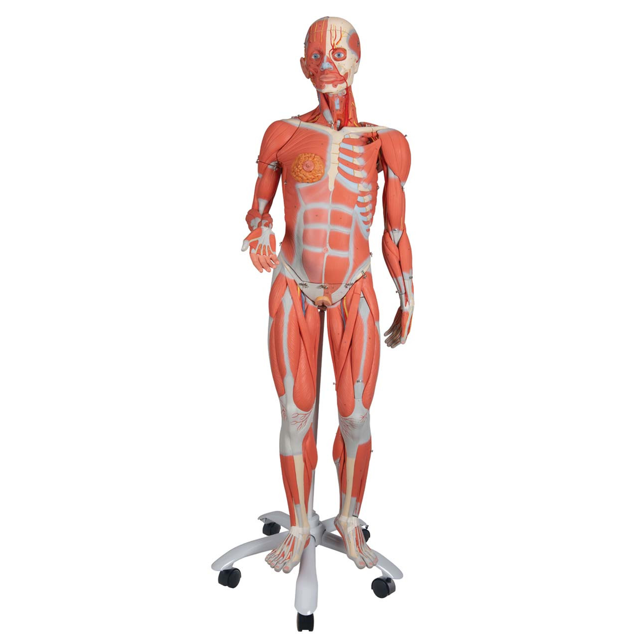 1013882 - 3/4 Life-Size Female Muscle Model on a metal stand without internal organs, 23-part