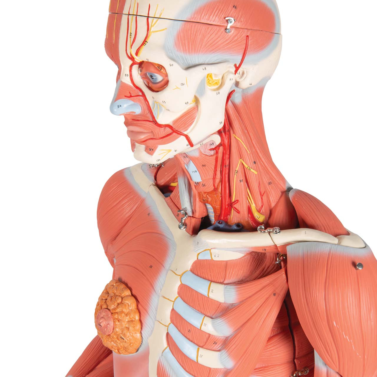 3/4 Life-Size Female Muscle Model on a metal stand without internal organs, 23-part