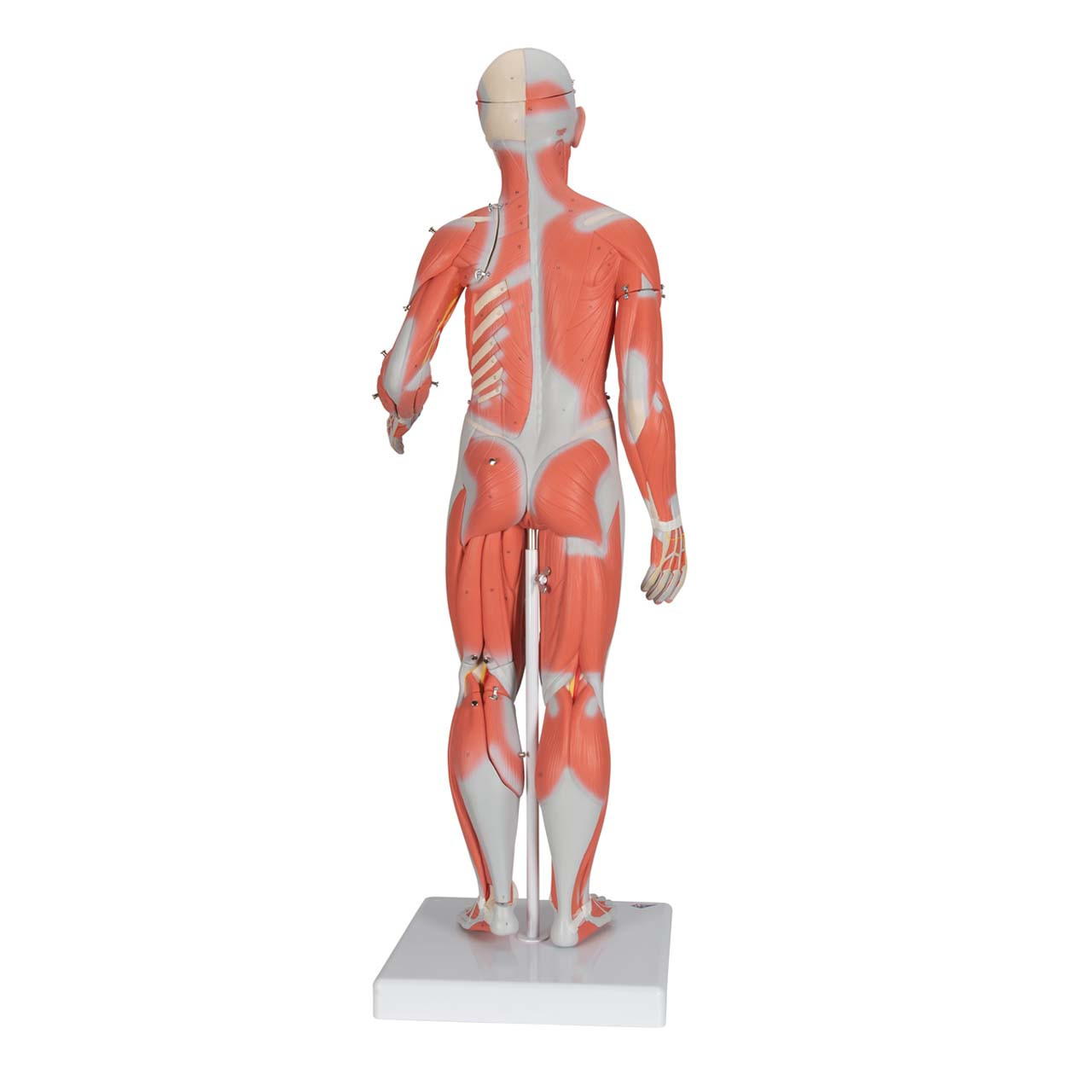 1000211 - 1/2 Life-Size Complete Female Muscular Figure, 21 part Without Internal Organs
