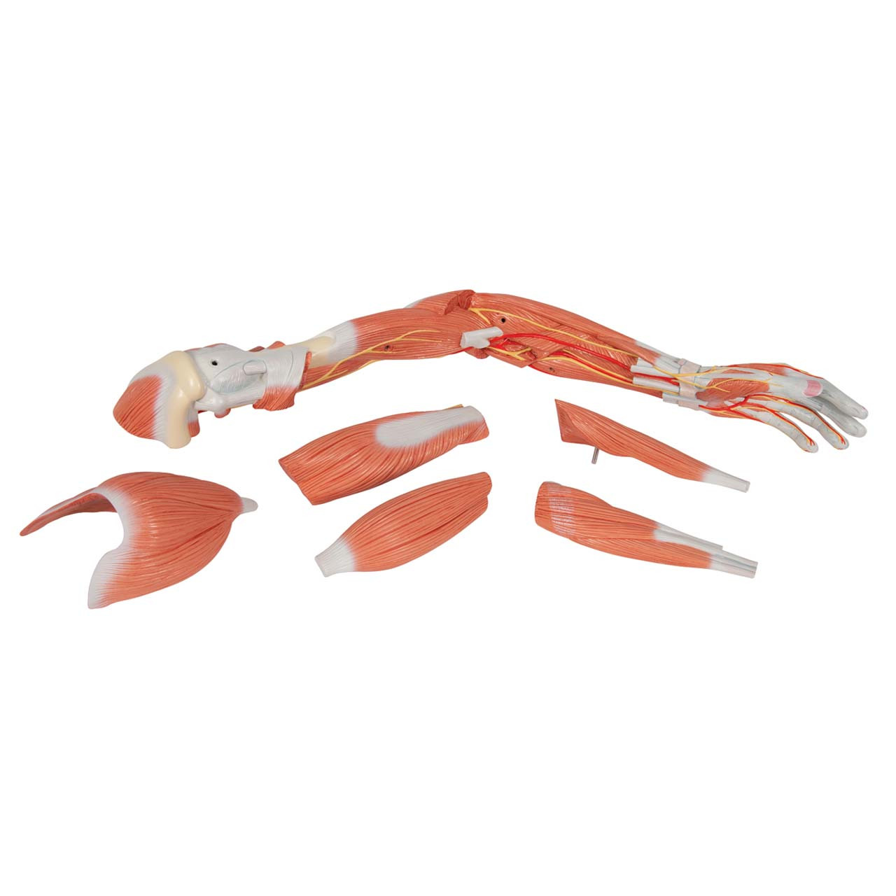 1000347 - Deluxe Muscle Arm, 6 part, Life Size
