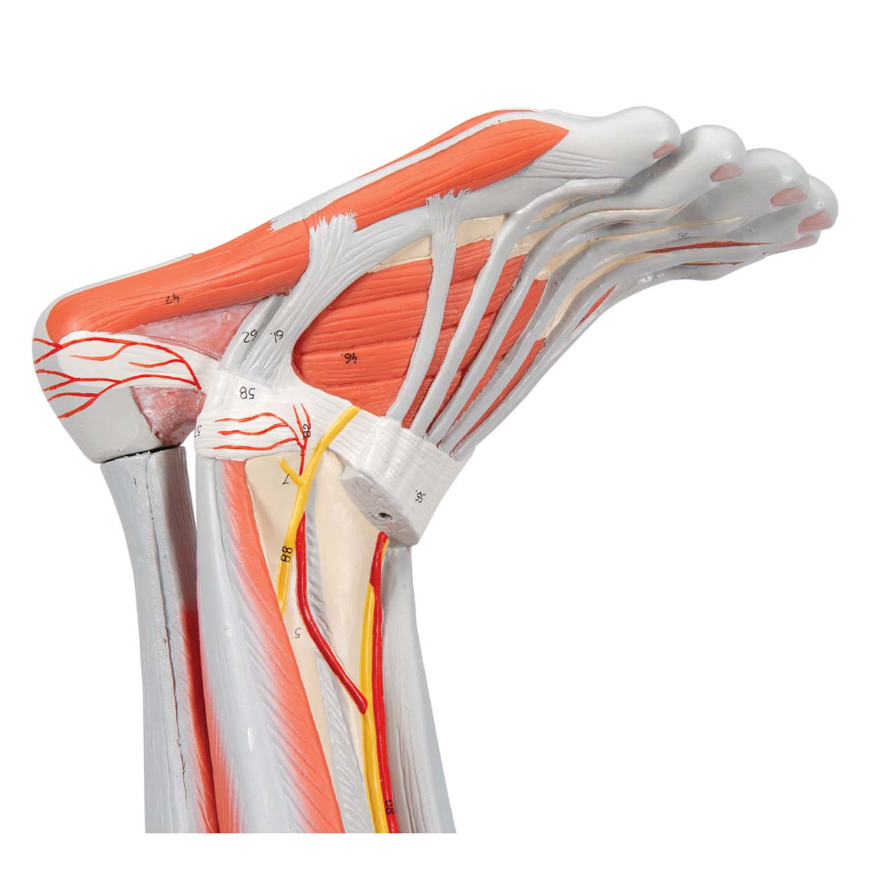1000351 - Muscle Leg, 9 part, 3/4 Life Size