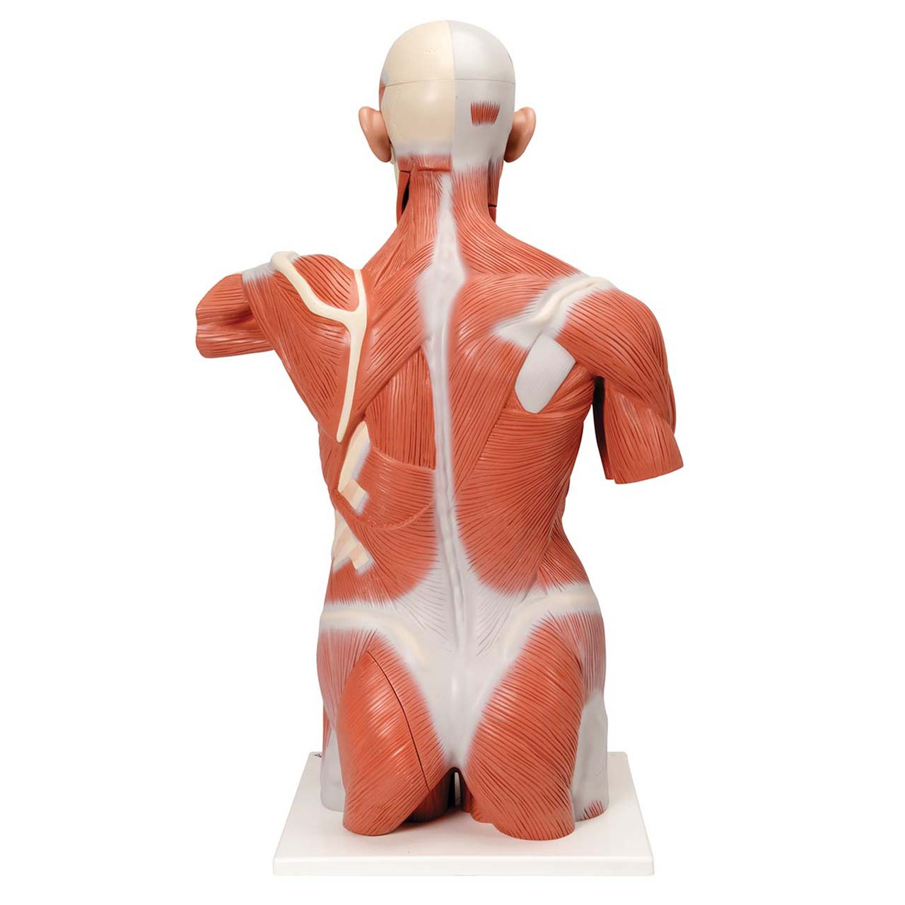 1001236 - Life size Muscle Torso Model, 27 part