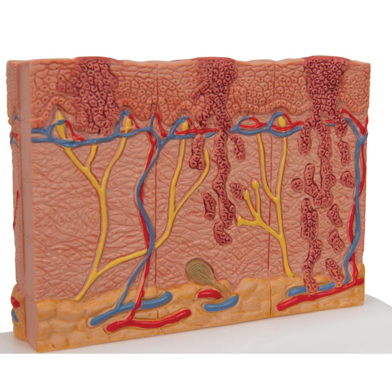 Skin Cancer Model