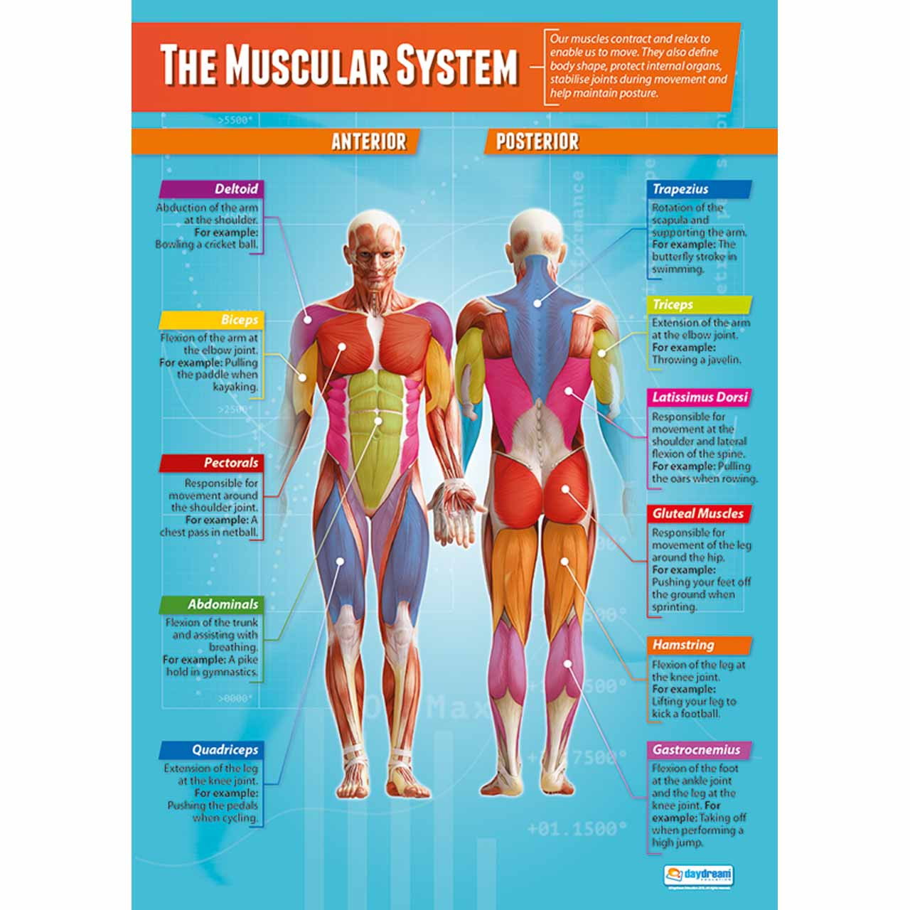 PE048L - The Muscular System