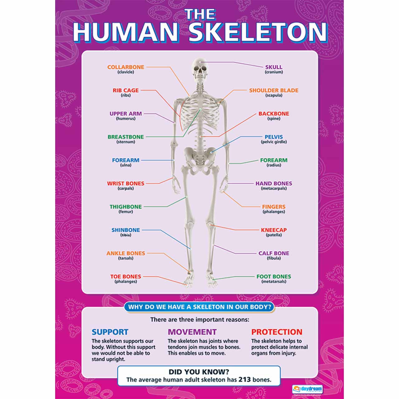 SC010L - The Human Skeleton Laminated