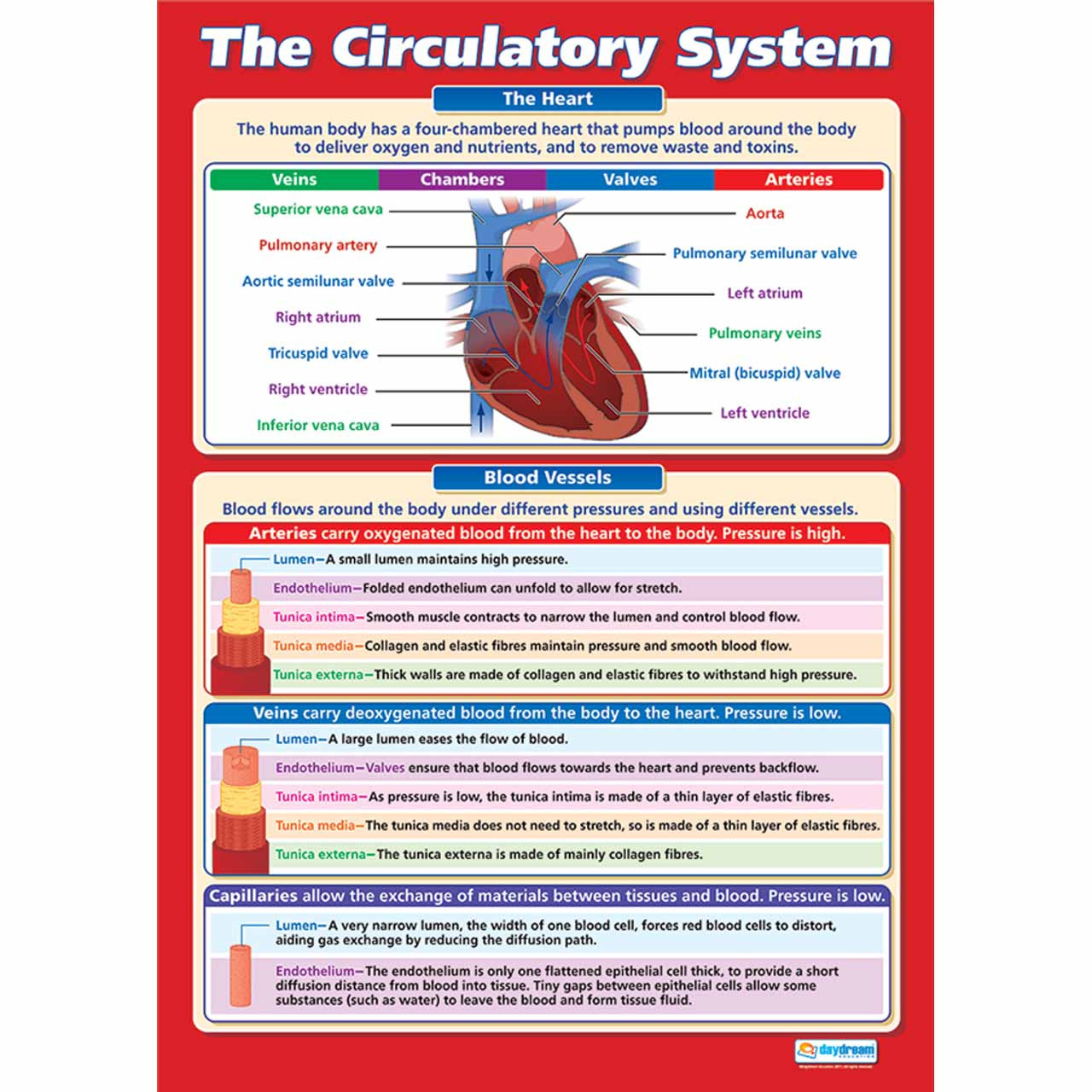 The Circulatory System Laminated