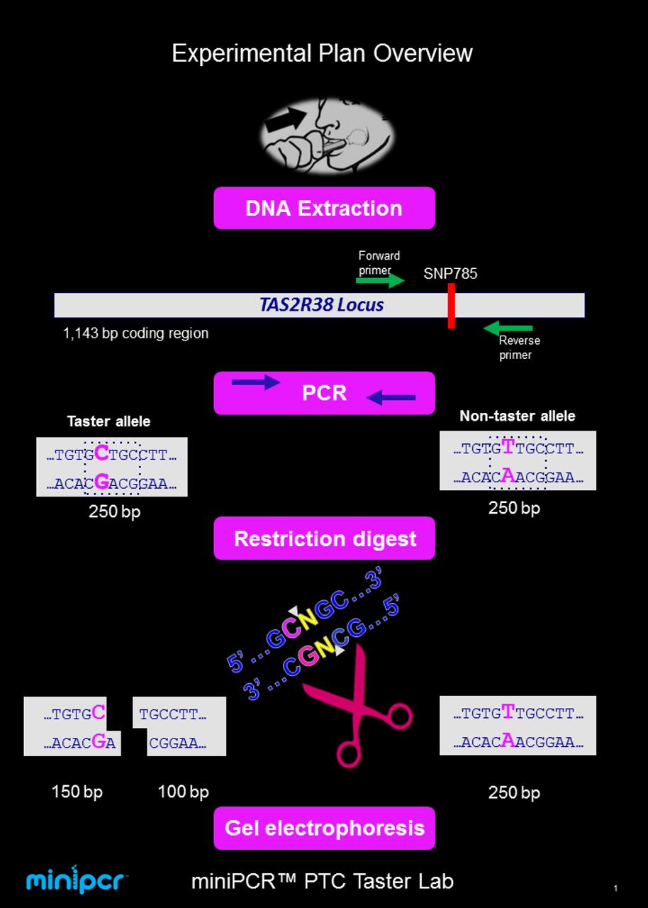 miniPCR Genotype to Phenotype – PTC Taster Lab