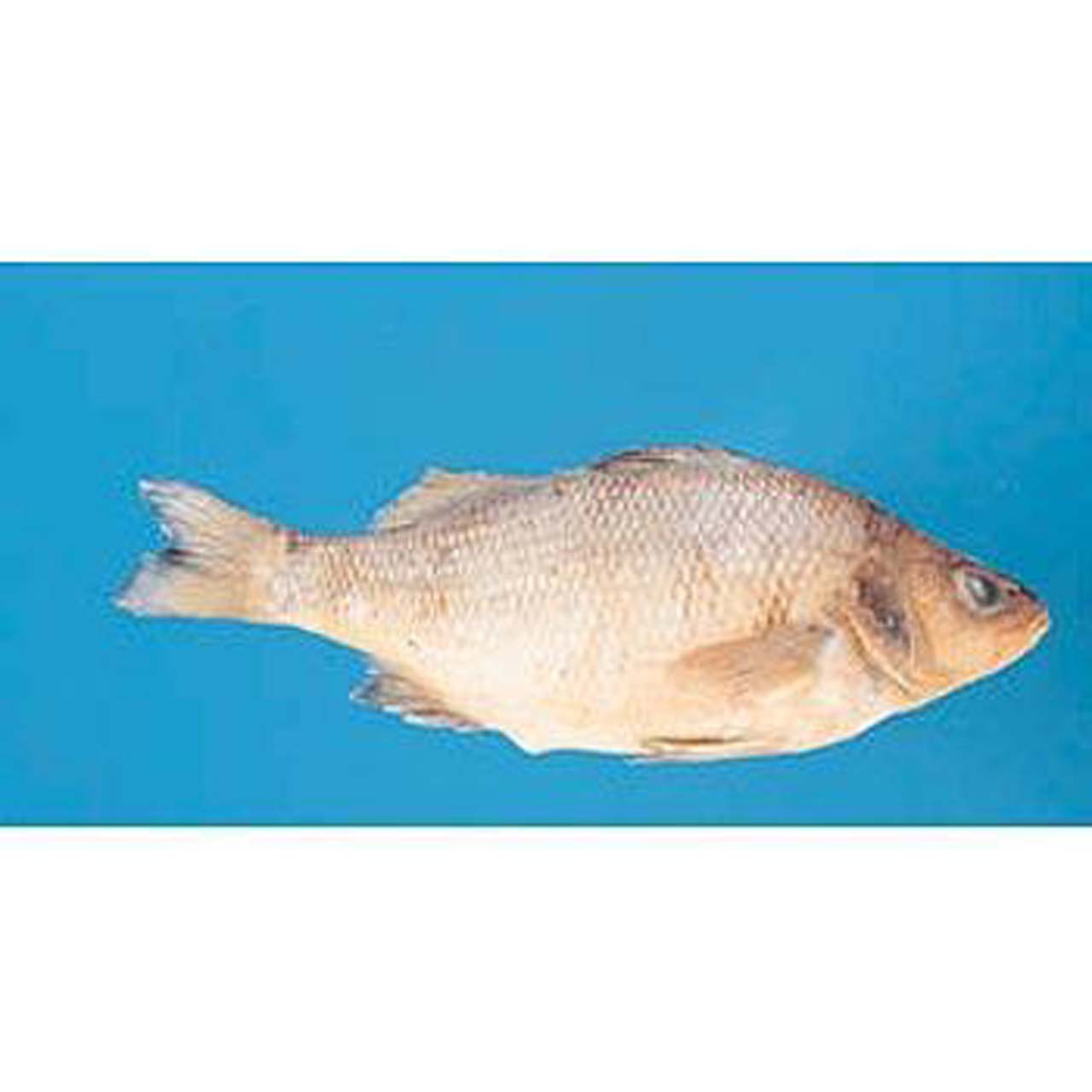PM1.305 - Bony fish, dissectible, preserved in formalin, packed in Carosafe