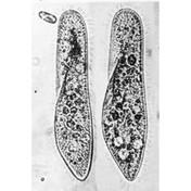 L4.40 - Paramecium caudatum, live