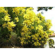S1.1 - Acacia decurrens seeds