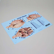 Sheep brain dissection mat 28cm x 43cm