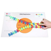 Flow of genetic information kit