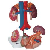 Kidneys with Rear Organs of the Upper Abdomen - 3 Part