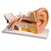1000250 - Ear Model, 3 times life size, 4 part