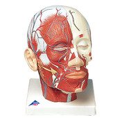 Head Musculature additionally with Blood Vessels