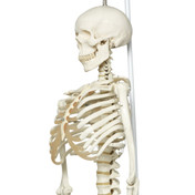 Physiological Skeleton Model - Phil - Hanging Stand