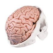 Classic Human Skull Model with 8 part Brain