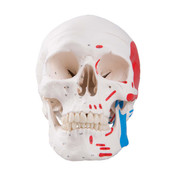 Classic Human Skull Model, painted, 3 part