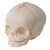 Foetal Skull Model, natural cast, 30th week of pregnancy