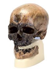 Replica Homo Sapiens Skull (Cr?-Magnon)