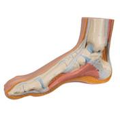 1000354 - Normal Foot