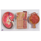 1000299 - Kidney Section, Nephrons, Blood Vessels and Renal Corpuscle