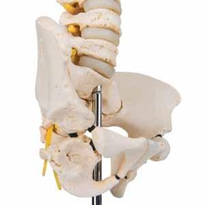 Spine and Vertebrae Models