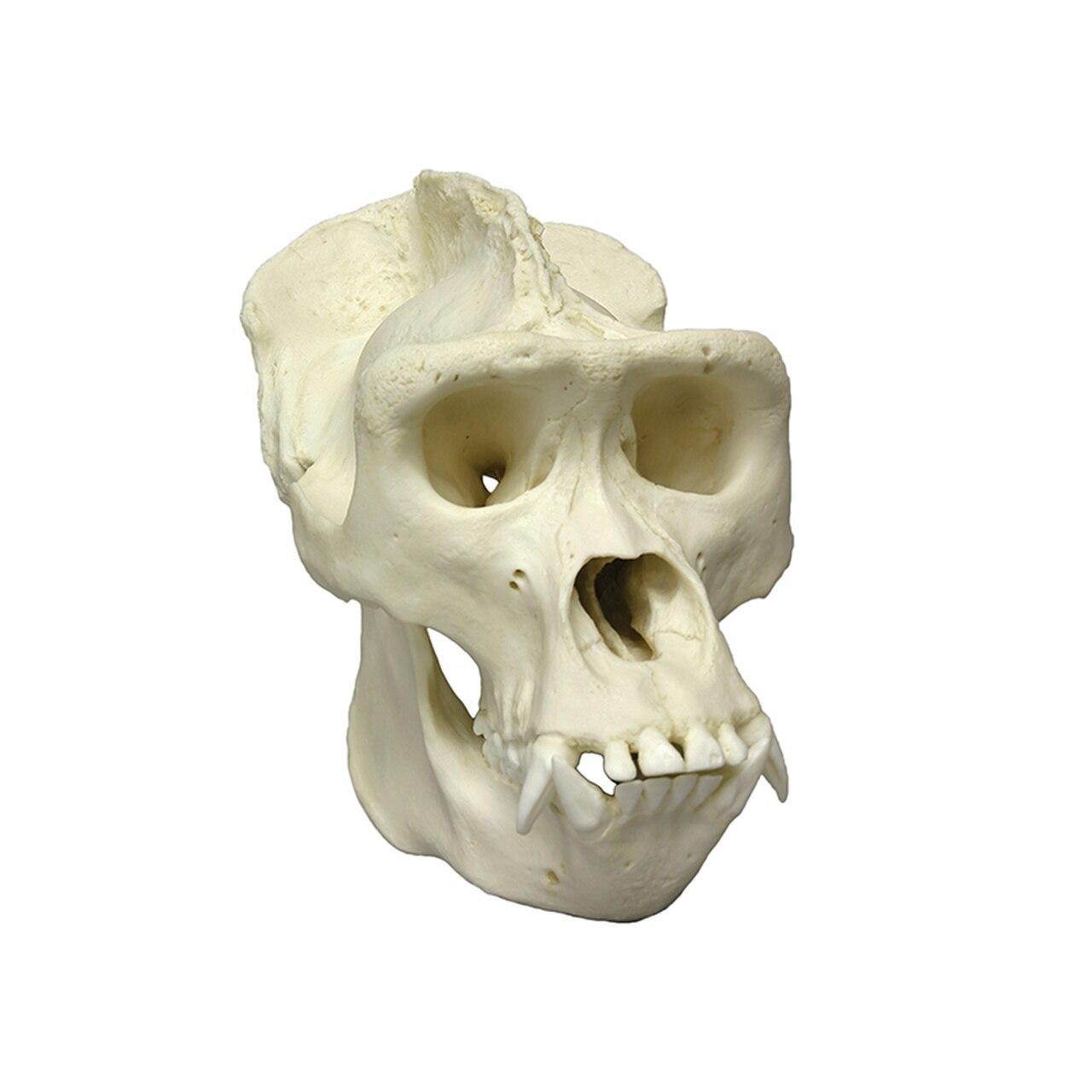 Animal Skull Models