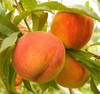 Peach 30ML E-liquid